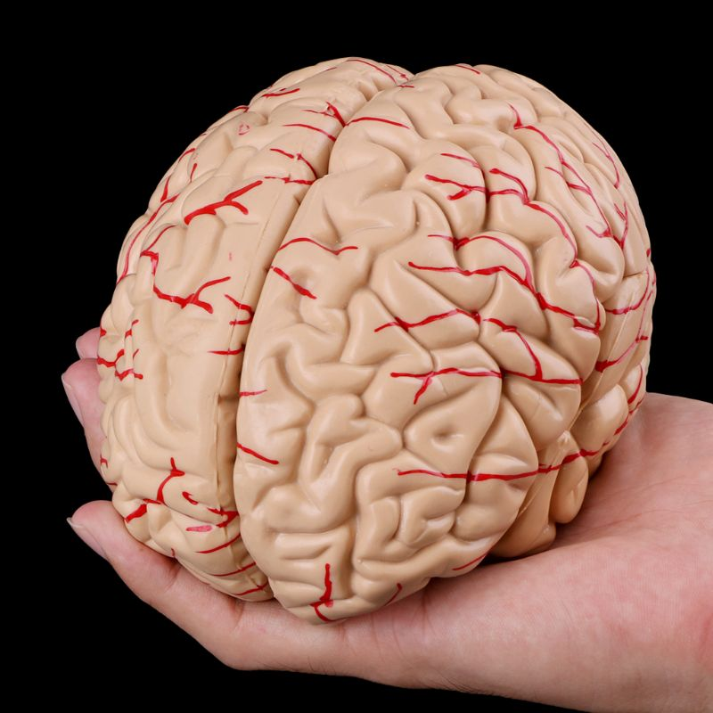 Human Brain Model Anatomy