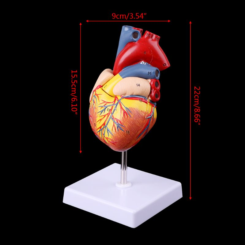 Anatomical Human Heart Model Anatomy