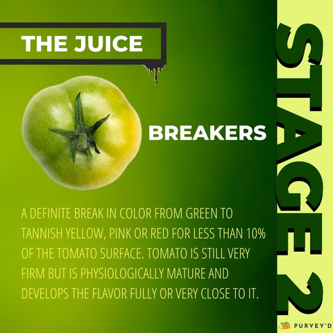 STAGE 2 BREAKERS: A DEFINITE BREAK IN COLOR FROM GREEN TO TANNISH YELLOW, PINK OR RED FOR LESS THAN 10% OF THE TOMATO SURFACE. Tomato is still very firm but IS physiologically mature and develops the flavor fully or very close to it.