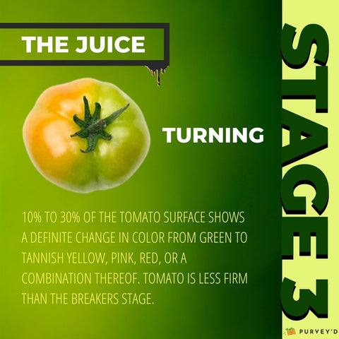 STAGE 3 TURNING: 10% TO 30% OF THE TOMATO SURFACE SHOWS  A DEFINITE CHANGE IN COLOR FROM GREEN TO TANNISH YELLOW, PINK, RED, OR A COMBINATION THEREOF. TOMATO IS LESS FIRM THAN THE BREAKERS STAGE.
