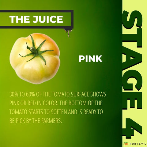STAGE 4 PINK: 30% TO 60% OF THE TOMATO SURFACE SHOWS PINK OR RED in color. The bottom of the tomato starts to soften and is ready to be pick by the farmers.