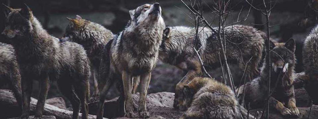 wolf howling in the pack