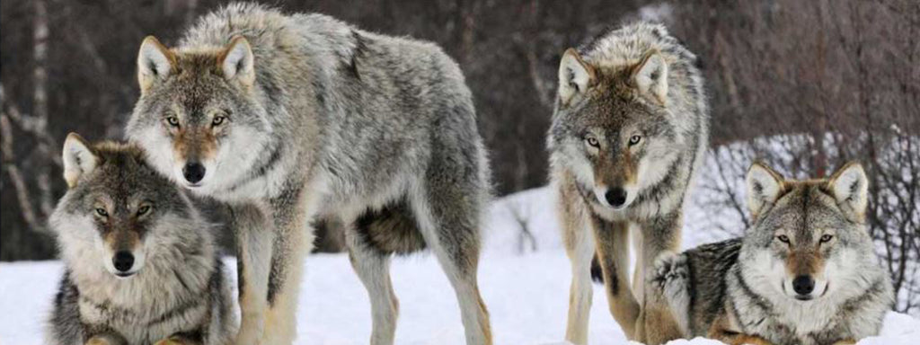 2 wolves in the snow