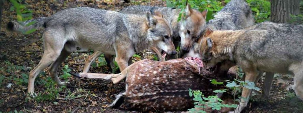 eating wolf