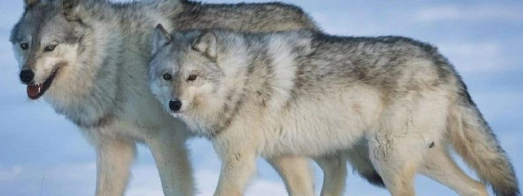 two wolves unite