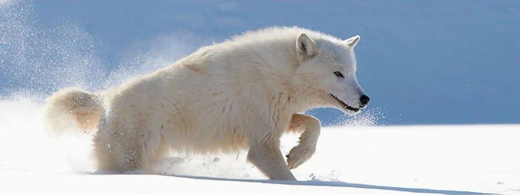 white wolf digging