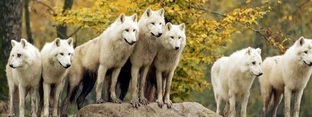 group of white wolf