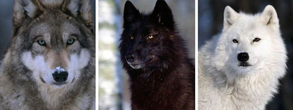 different wolves
