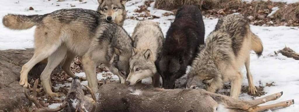 hungry wolf in a pack