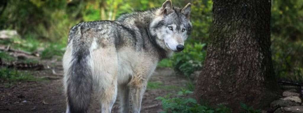 grey wolf looking back