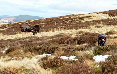 Luise Counting Grouse - In Flight