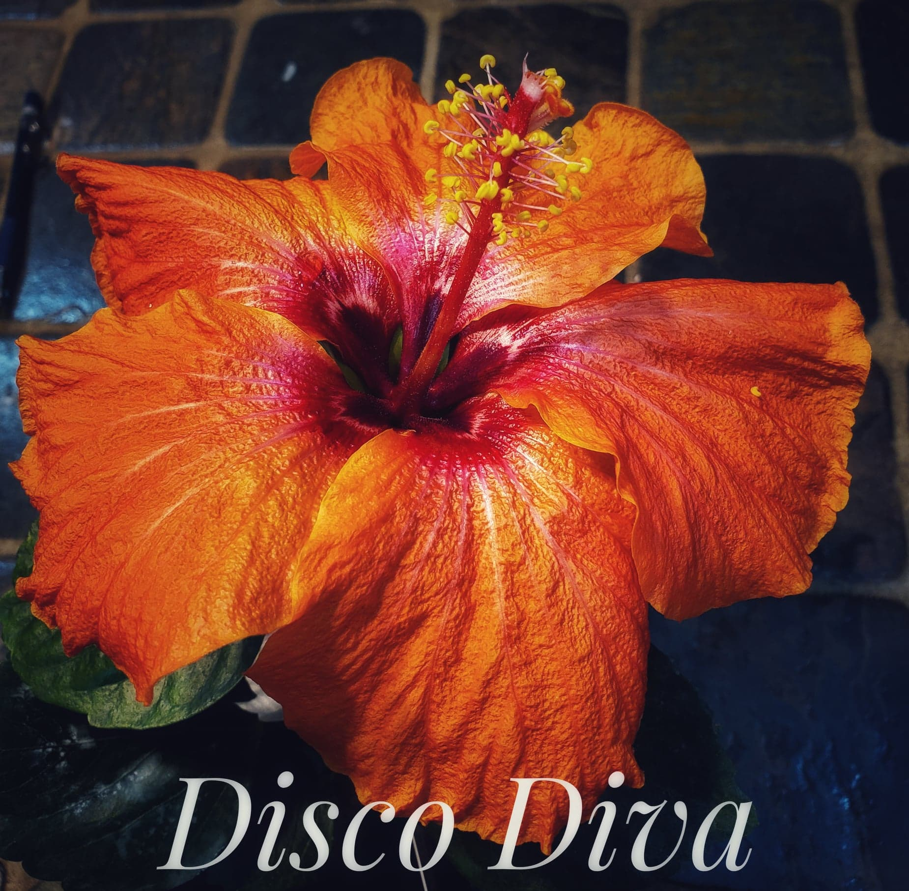 "Hollywood Hibiscus ""Disco Diva"""