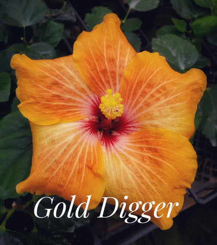 "Hollywood Hibiscus ""Gold Digger"""
