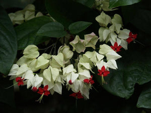 Clerodendrum thomsoniae ... Bleeding Heart Vine