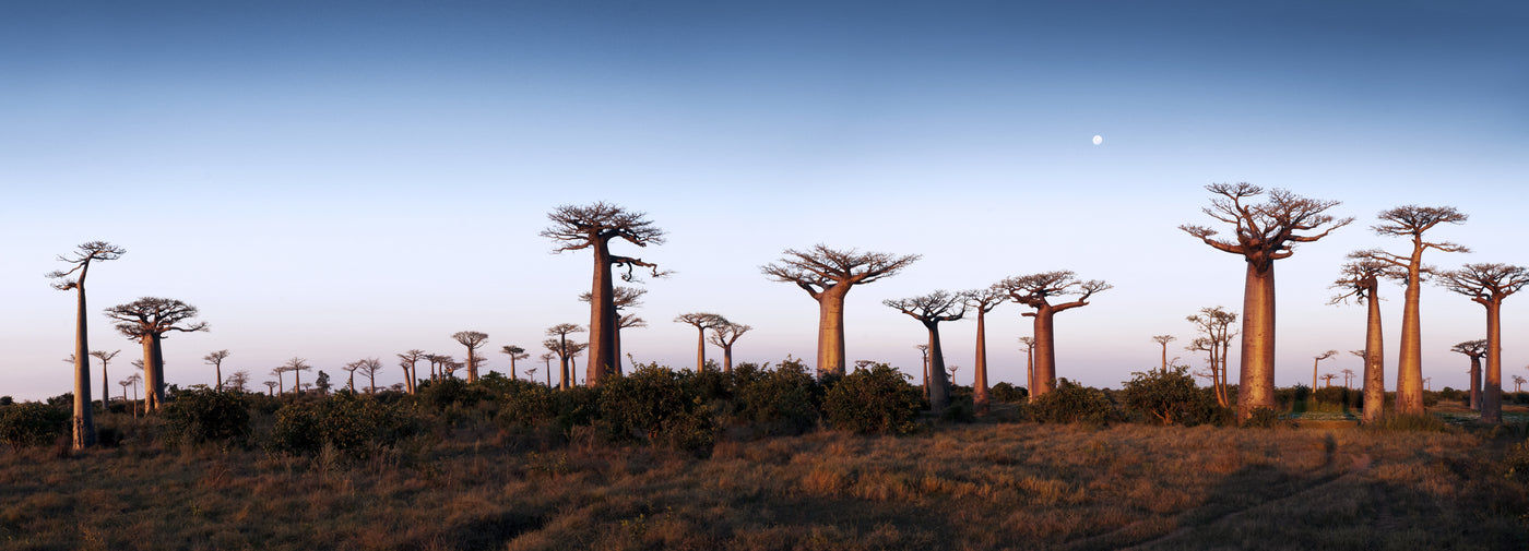 Wide landscape image of baobab trees with a beautiful blue sky. Boabab trees. Tree of Life. Baobab Fruits. African landscape.