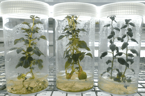 The effect of LED light quality on the growth and development of tissue culture seedlings