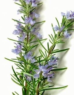 Natural Ingredients: Rosemary