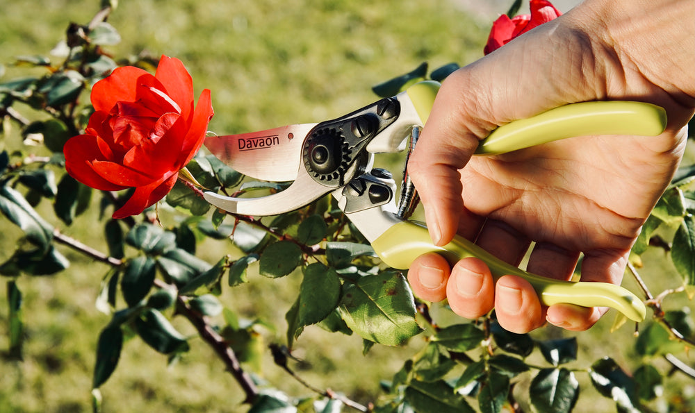 Davaon's classic secateurs in action; cutting a red rose of a rose bush.