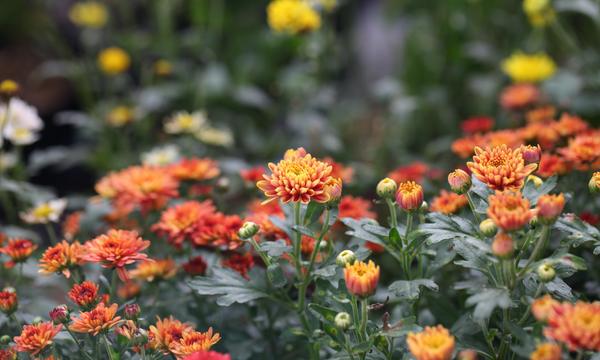 blooming orange and yellow flowers