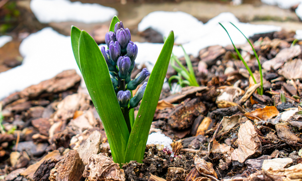 hyacinth on a flower bed covered in mulch