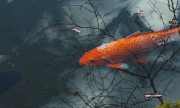 a koi fish rising to the surface of the pond
