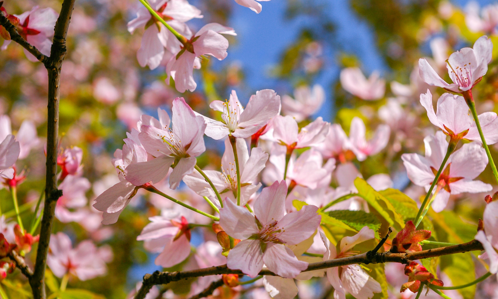 A close-up shot of a cherry blossom tree in front of a bright blue sky.