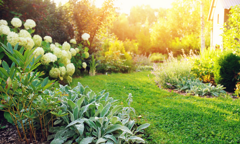 sunny garden with green lawn and blooming peonies