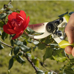 Pruning a red rose with our Davaon Pro Secateurs