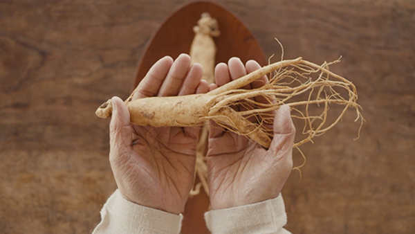 korean red ginseng on palm of hands