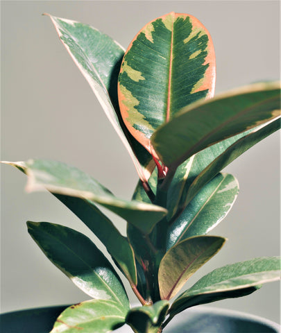 Pink Rubber Plant