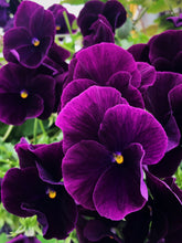 "Load image into Gallery viewer, 10"" Cool Wave Pansy Hanging Basket"