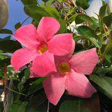 "Load image into Gallery viewer, 10"" Mandevilla Hanging Basket"
