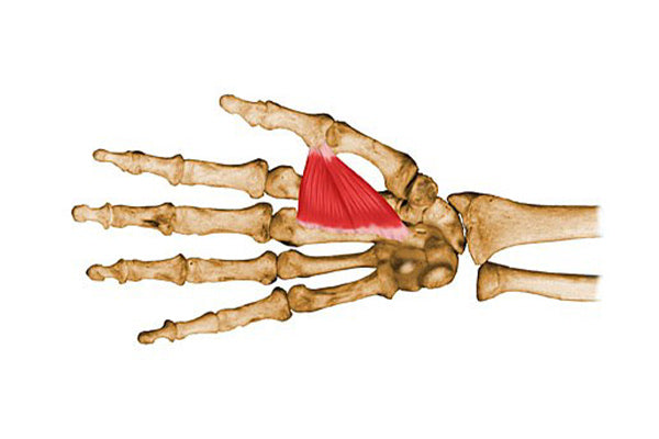 adductor pollicis
