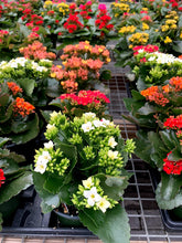 Load image into Gallery viewer, Kalanchoe 4.5""