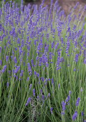 Lavandula Angustifolia 'Betty's  Blue' (English Lavender) Local Pick Up Only