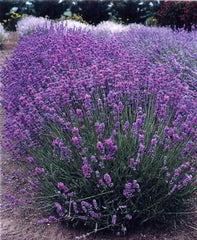 Lavender Angustifolia Violet Intrigue   Local Pick Up Only