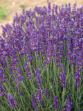 Lavender Angustifolia  Hidcote Local Pick Up Only