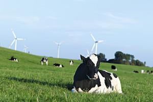 Cows in a field with windmills - The Rise of Hobby Farms: Five Fast Facts Absorbine