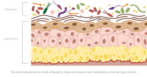 Illustration of a cross section of skin for Silver Honey Rapid Wound Repair natural first aid spray and ointment