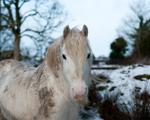 Muddy white horse for Miracle Groom Spray