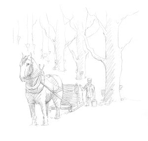 Collecting maple sap with a horse