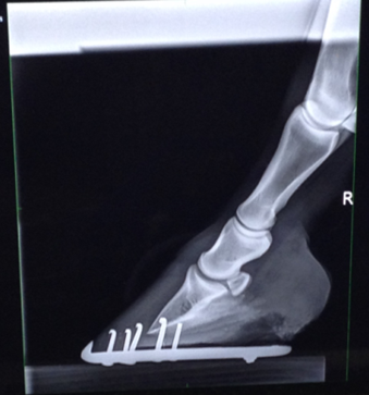 Hoof x-ray before using Bute-Less Performance Supplement