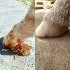 Hoof damage healing before and after from Hooflex Concentrated Hoof Builder Supplement