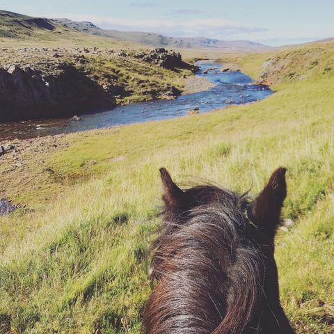Tolt Horses of Iceland and Absorbine