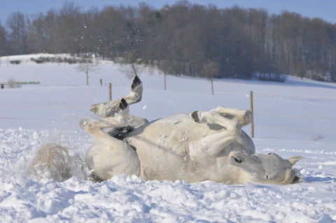 white horse rolling in snow Absorbine Blog