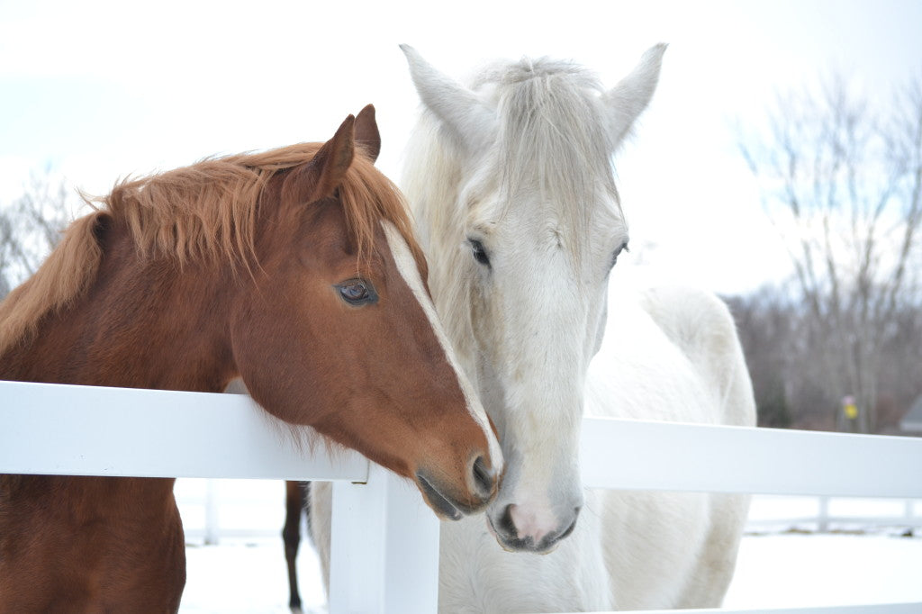 Two horses nuzzling each other.