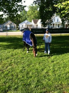 The racehorse Nero grazes at Churchill Downs racetrack.