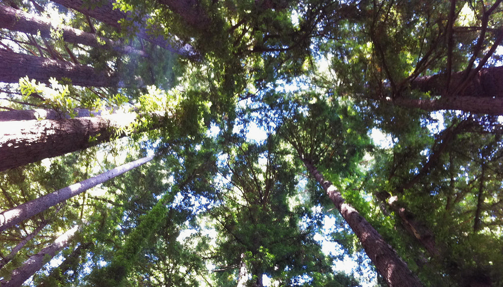 Redwood Trees by Missy Patterson, Simply Grateful