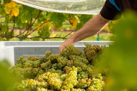 Blackenbrook Sauvignon Blanc 2019 grapes from sunny Nelson, New Zealand