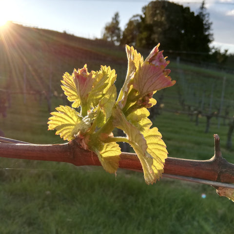 Spring at award-winning Blackenbrook Vineyard, Nelson, New Zealand